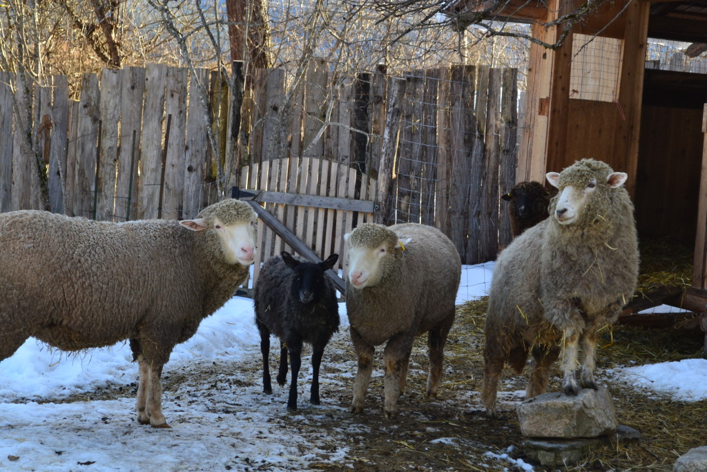 Meet the Sheep ~ Spring 2016